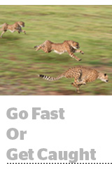 ANA cheetahs